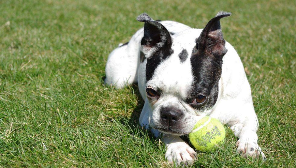 Boston Terrier mit Tennisball