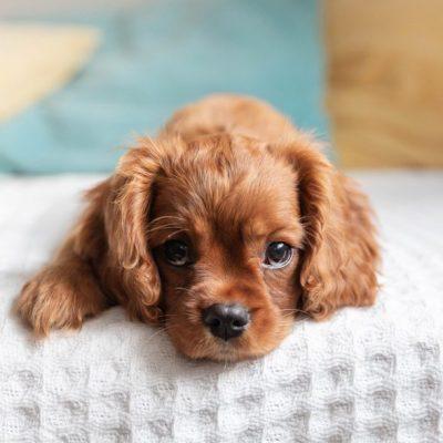 Cavalier King Charles Spaniel liegt auf Bett