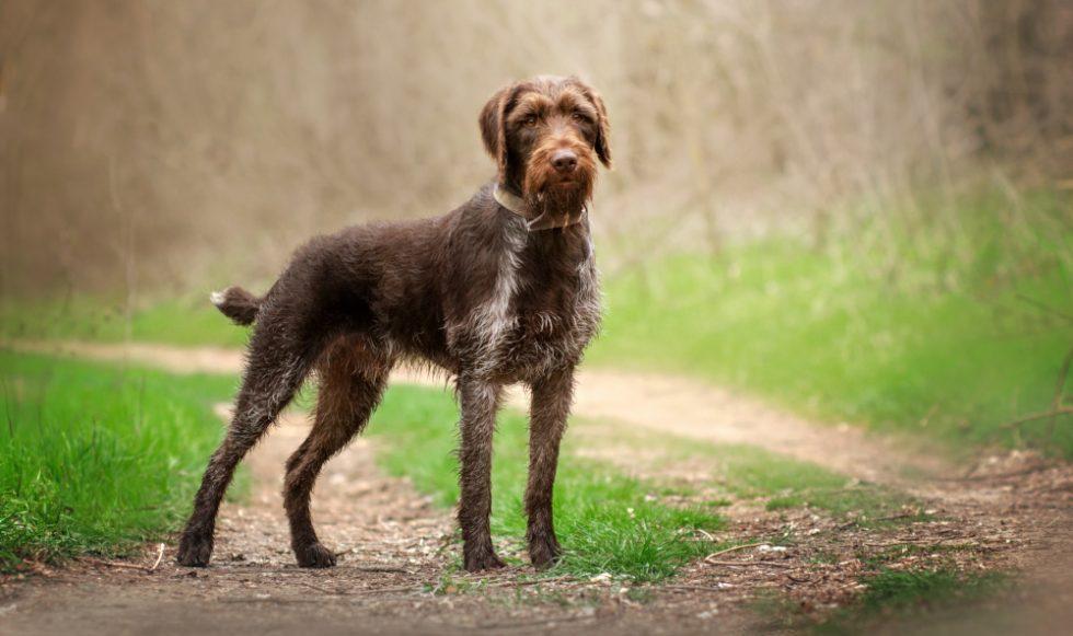 Deutsch Drahthaar Hund im Wald