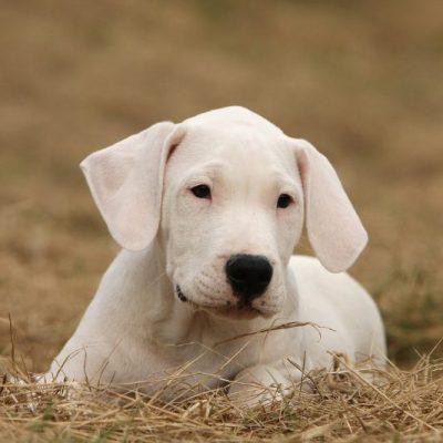 Dogo Argentino Welpe weiß sitzt im Gras