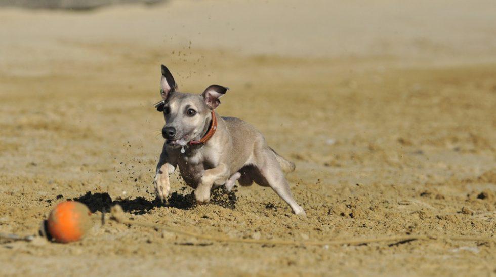 Greyhound Welpe beim Spielen mit Ball