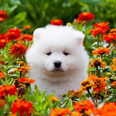 Samojede Welpe im Blumenbeet