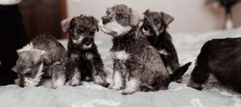 Zwergschnauzer Welpen mit Elterntier