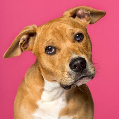 amstaff terrier welpe portrait