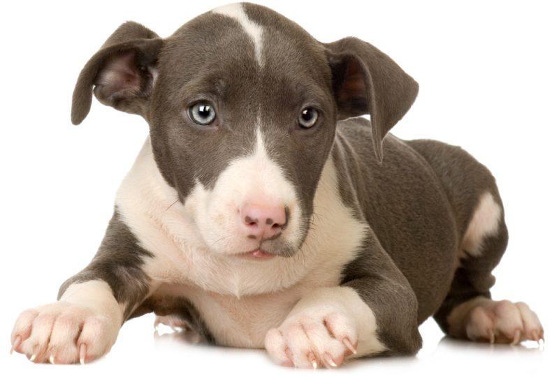 American Staffordshire terrier Welpe