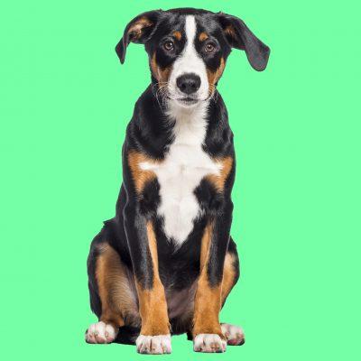 Appenzeller Sennenhund, 4 Monate alt, macht Sitz