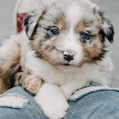 Australian Shepherd Welpe mit blauen Augen