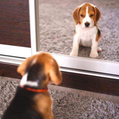 Beagle Welpe im Spiegel