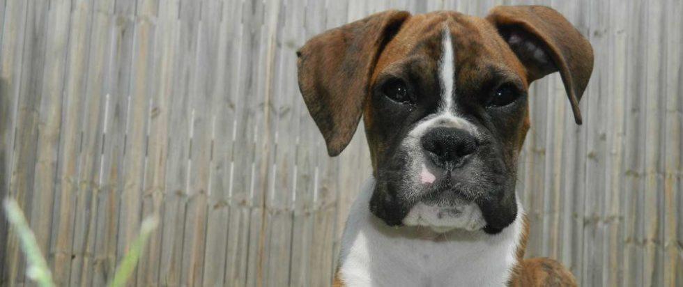Boxer Welpe mit braunem Fell