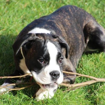 Boxer Welpe spielt mit Stock im Garten