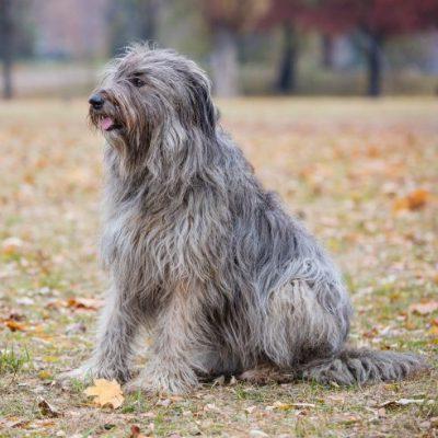 Briard Hund im Herbst