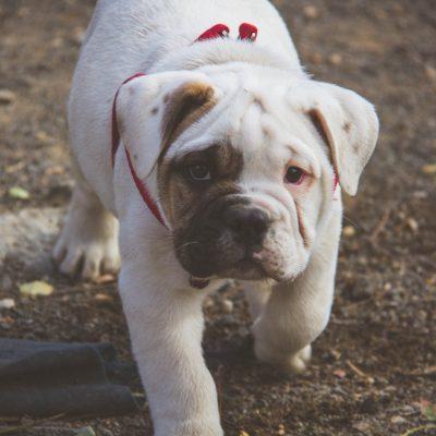 Englische Bulldogge Welpe