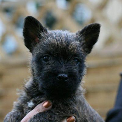 Cairn Terrier Welpe in der Hand