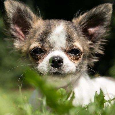 Chihuahua Welpe im Garten