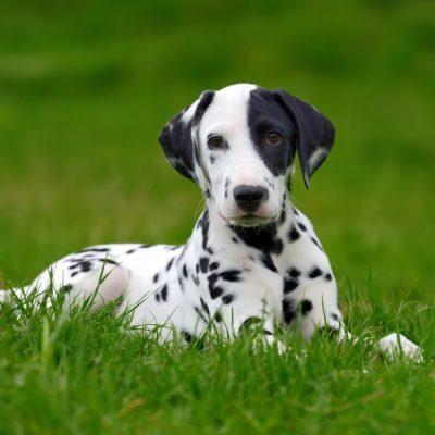 Dalmatiner macht Platz im Gras