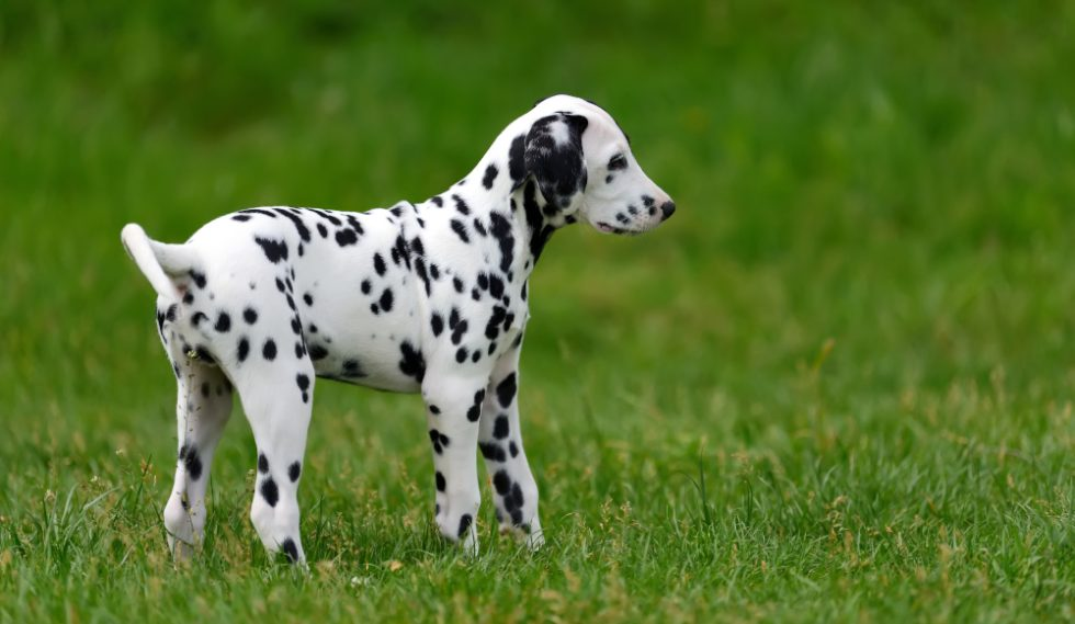 Dalmatiner Welpe im Freien