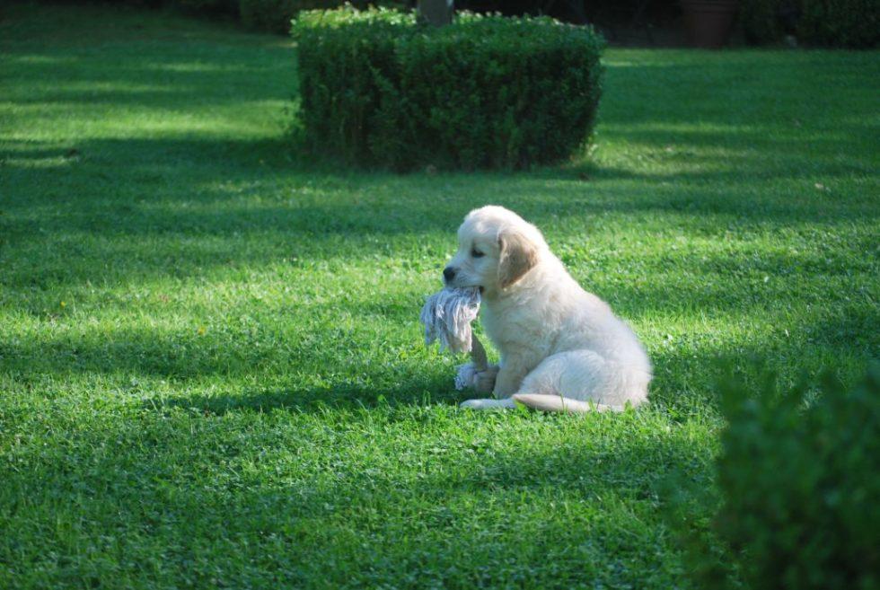Welpe sind mit Spielzeug auf der Wiese