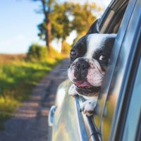 Hund im Auto guckt aus dem Fenster