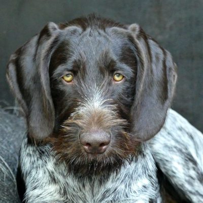 Deutsch Drahthaar Junghund Portrait