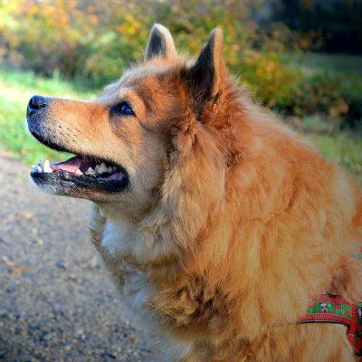 Elo Hund beim Spaziergang