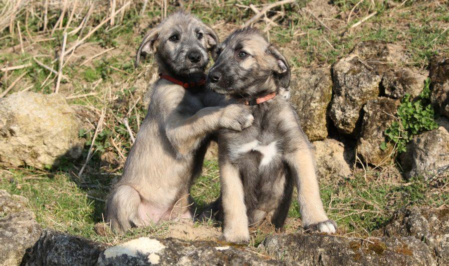 Irischer Wolfshund Welpen