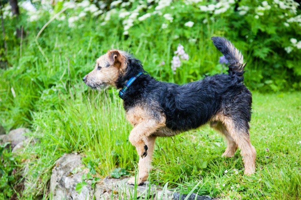Lakeland Terrier im Garten