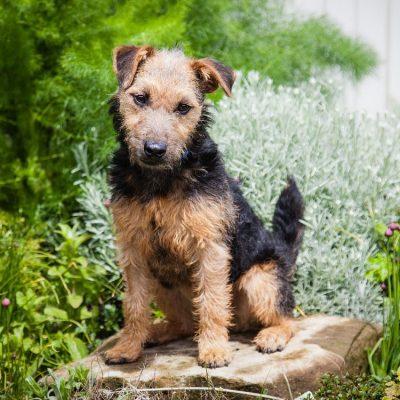 Lakeland Terrier sitzt im Garten auf einem Stein.