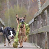 Hunde auf einer Brücke mit Spielzeug