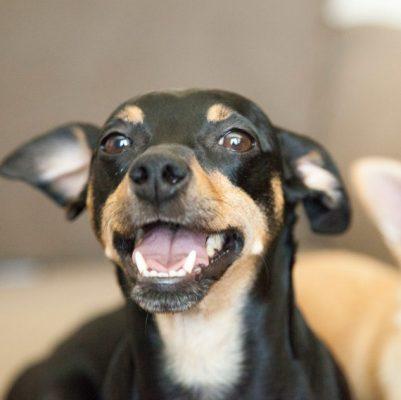 Manchester Terrier Welpe ist happy