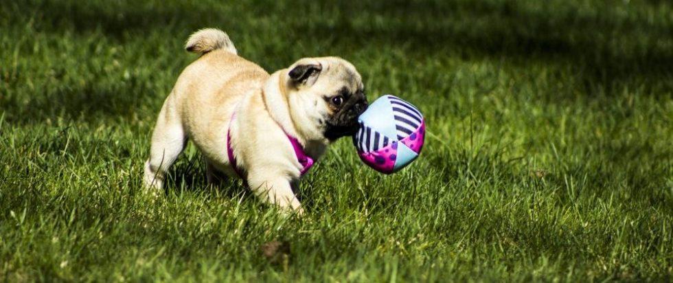 Mops Welpe spielt im Garten mit Ball