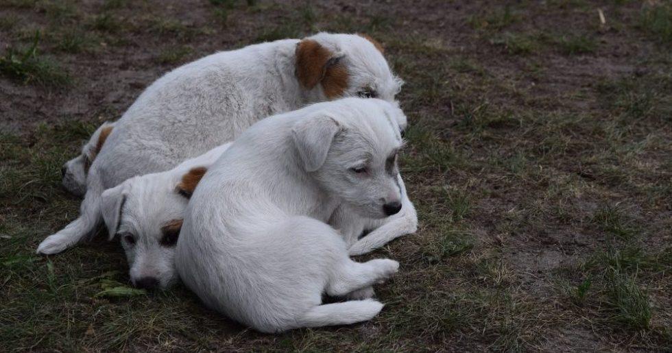 Drei Parson Russel Terrier Welpen im Gras