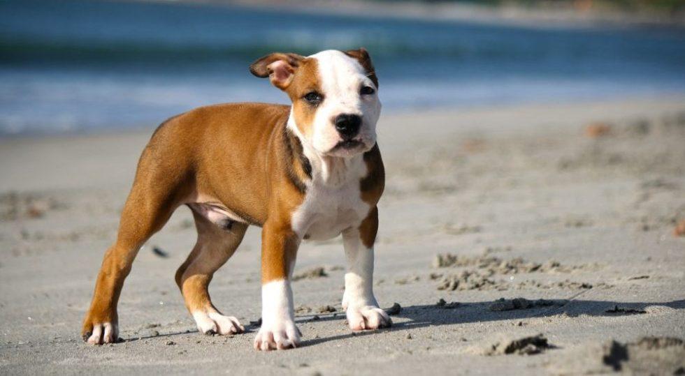 Pitbull Welpe am Strand