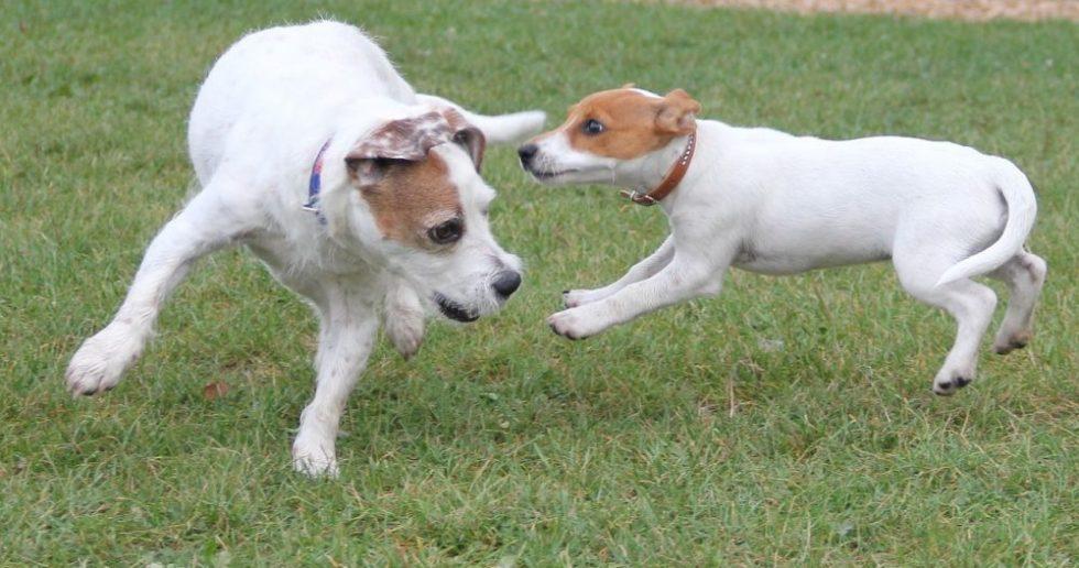 Jack Russel Terrier Welpe spielt mit Mama