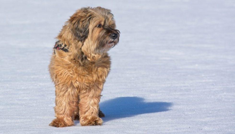 tibet terrier im winter
