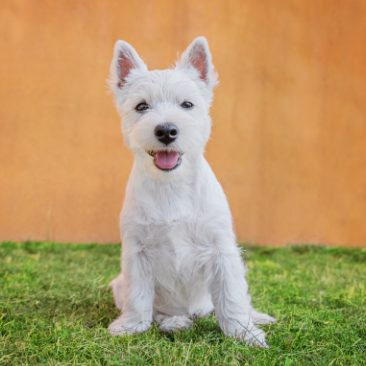 West Highland White Terrier Welpe sitzt im Garten
