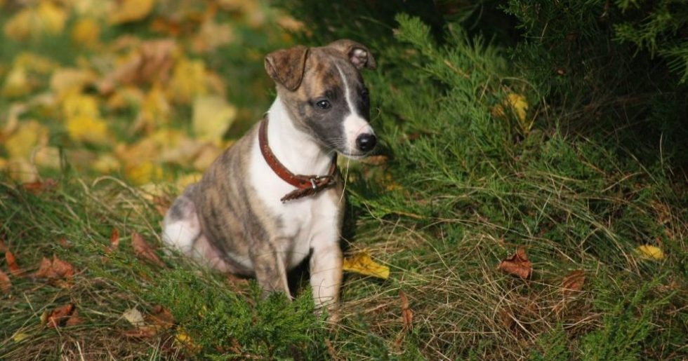 whippet welpe in der natur